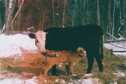 Cow and her baby